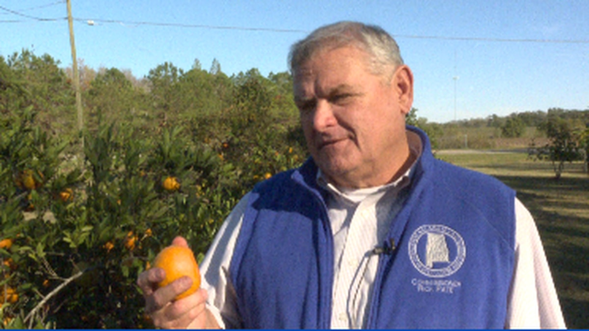 State Agriculture Commissioner Rick Pate holds a Satsuma grown in Dothan, AL. (Source: WTVY)