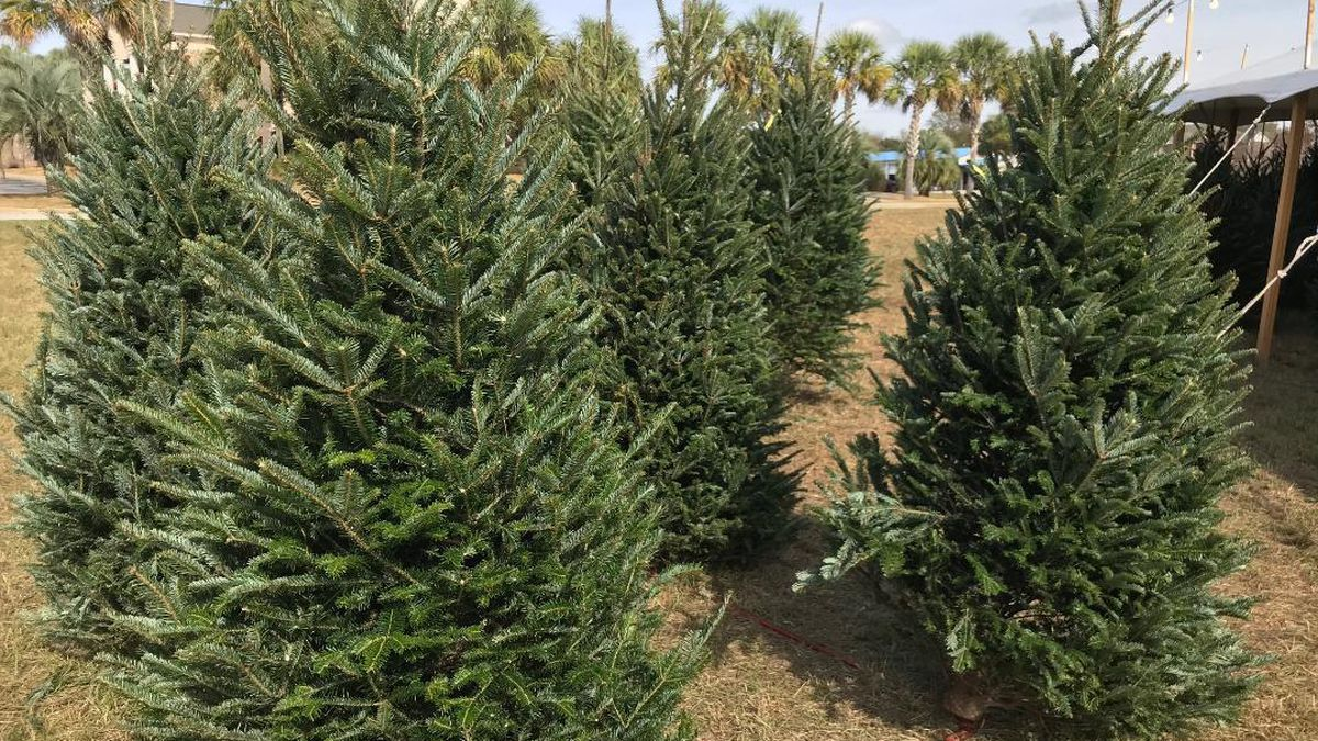 Several of the trees shipped in from North Carolina to Twitty's.