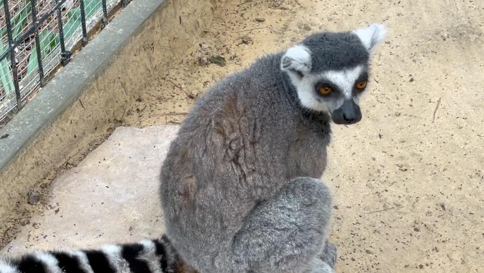 Wild Adventures welcomes baby lemur.