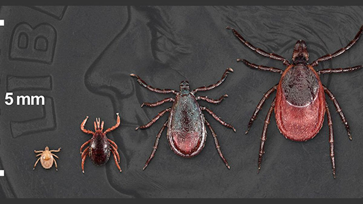The life stages of a black-legged tick. (Source: WSFA 12 News/CDC)