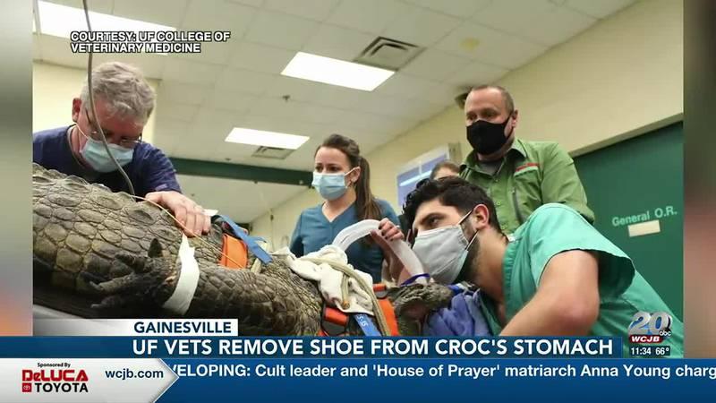 University of Florida veterinarians remove shoe from crocodile's stomach