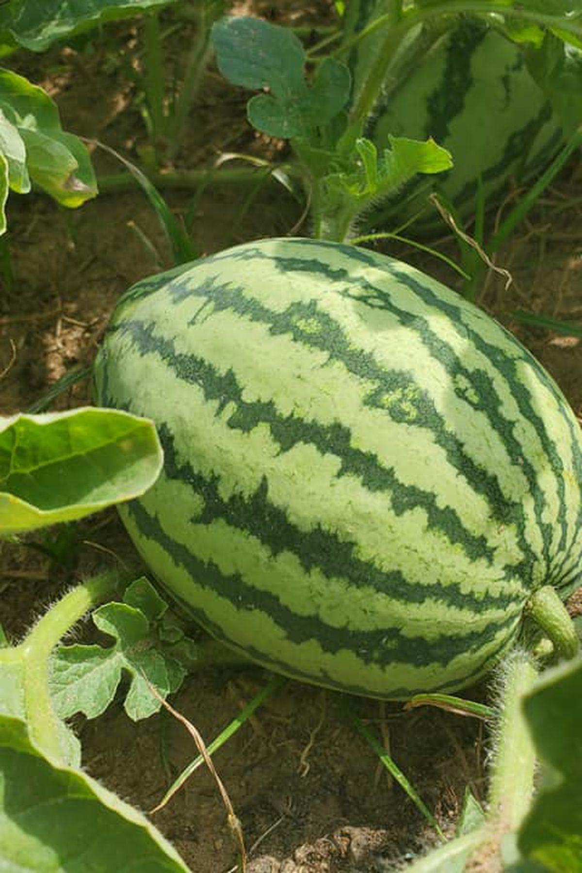 Georgia S Watermelon Season Begins