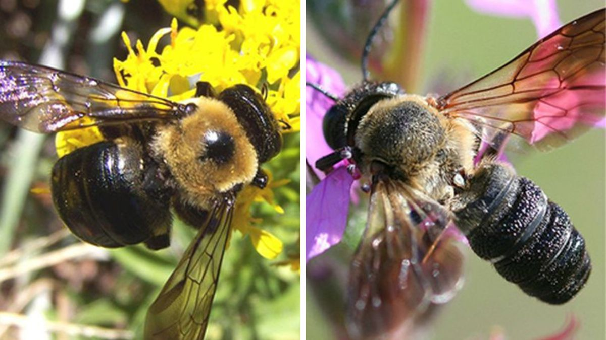 The sculptured resin bee — also known as the giant resin bee — an invasive bee that could...