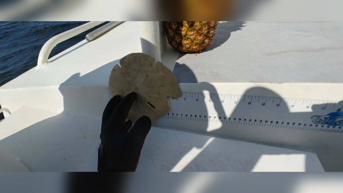 A local diving boat found what could be a world record-sized sand dollar over the weekend.