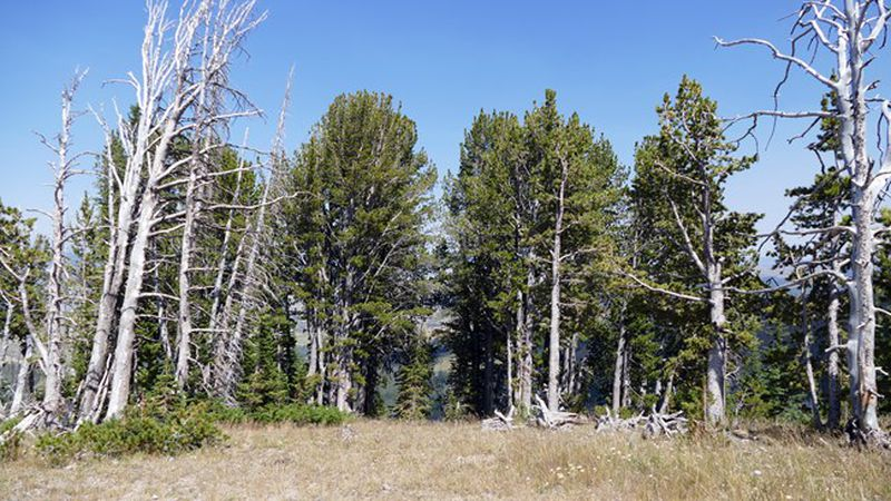 The trees have been all but wiped out in some areas, including the eastern edge of Yellowstone...