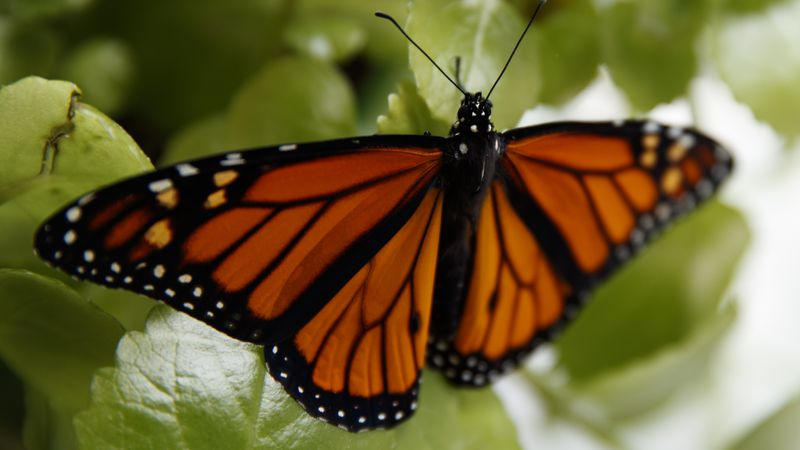 The number of monarch butterflies that showed up at their winter resting grounds in central...