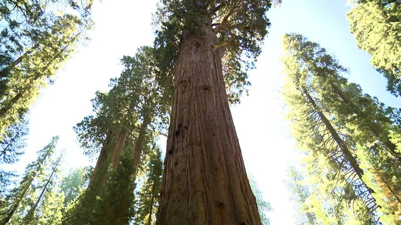 Climate change is having a devastating impact on one of California's natural treasures: the...